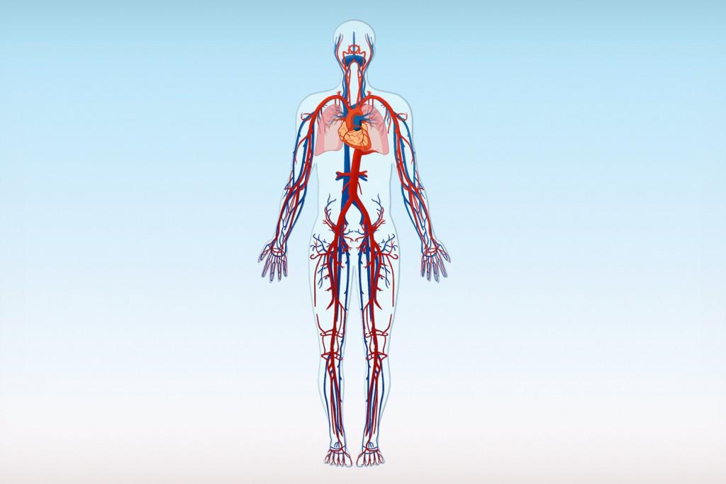 Blutgefäße des menschlichen Körpers – Arterien (rot) und Venen (blau)