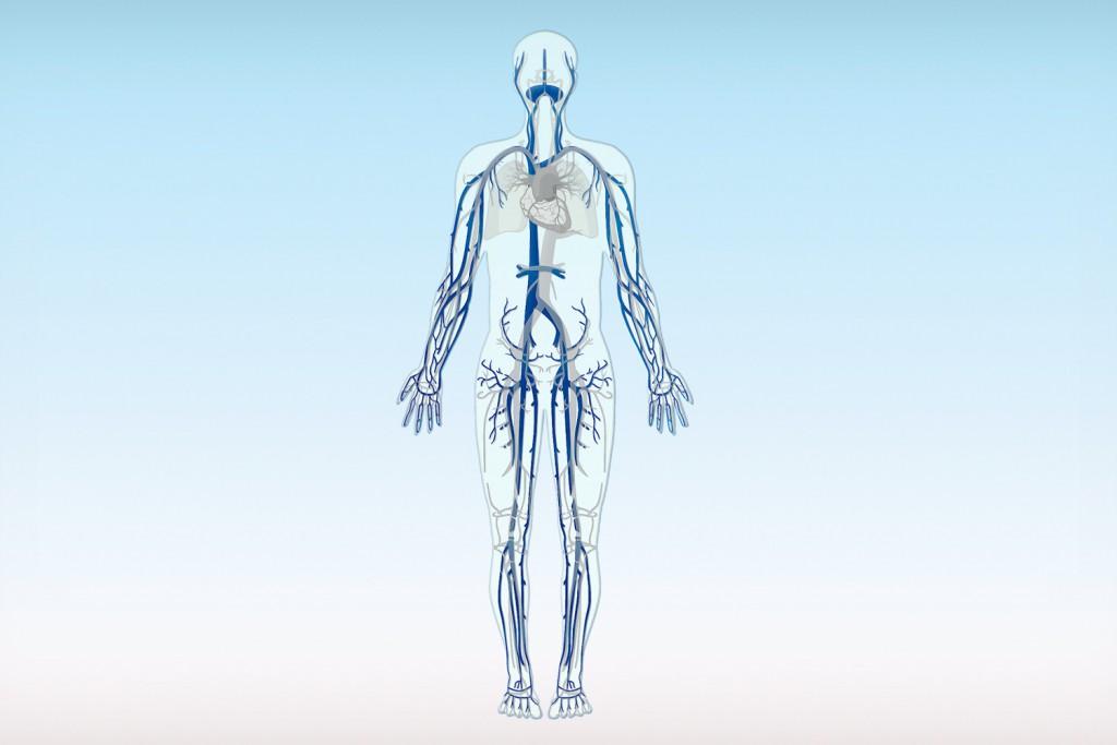 Venen sind Blutgefäße, die das Blut aus dem Körper zum Herzen zurück transportieren